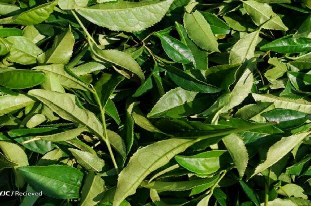 کاهش ۲۳ درصدی واردات چای