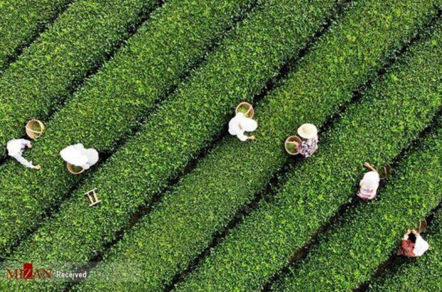 رشد ۵ درصدی تولید چای نسبت به سال گذشته