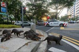 عبور یک خانواده سمور وحشی از خیابانی در سنگاپور